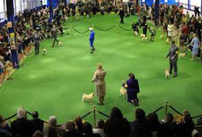 Sky's the limit: wire fox terrier wins Westminster dog show